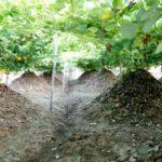 Cách trồng sắn dây